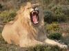 http://lionwiki.0o.cz/lion.jpg